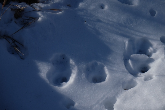 Mountain Lion tracks?